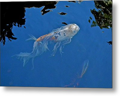 Butterfly Koi In Blue Sky Reflection Metal Print by Kirsten Giving