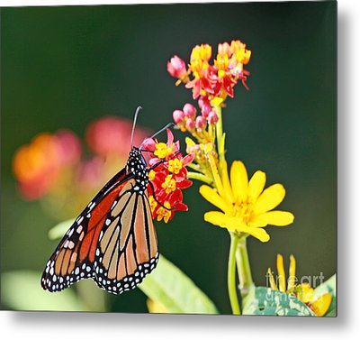 Butterfly Monarch On Lantana Flower Metal Print