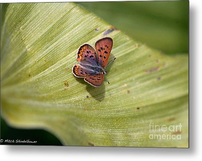 Metal Print featuring the photograph Butterfly On Cornflower Leaf by Mitch Shindelbower