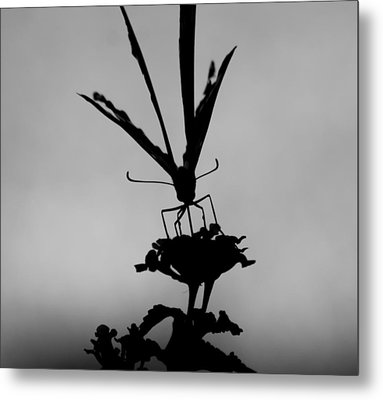 Butterfly On Lantana Bw Metal Print by Toma Caul