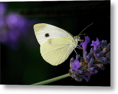 Butterfly On Lavender Flower Metal Print by Annfrau