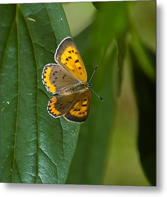 Butterfly Pose Metal Print