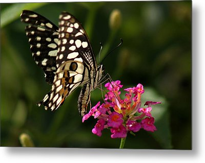 Metal Print featuring the photograph Butterfly by Ramabhadran Thirupattur