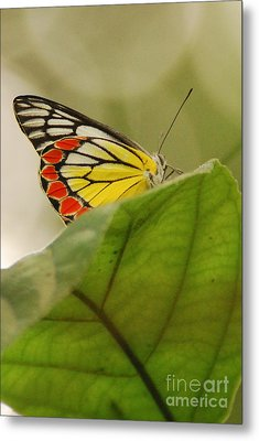 Metal Print featuring the photograph Butterfly Resting by Fotosas Photography