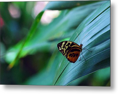 Butterfly Resting Metal Print by Luis Esteves