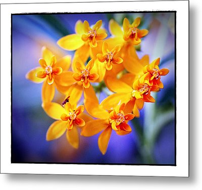 Metal Print featuring the photograph Butterfly Weed by Judi Bagwell