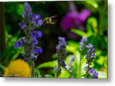 Buzzing Around Metal Print by Shannon Harrington
