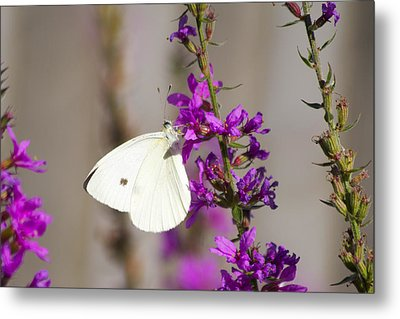 Cabbage White Butterfly Metal Print by Michel DesRoches