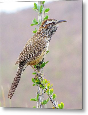 Cactus Wren Metal Print by FeVa  Fotos