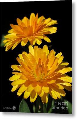 Calendula Named Bon-bon Orange Metal Print
