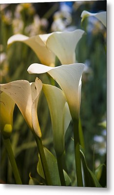 Cali Lily Metal Print by Tony Locke