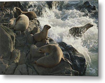 California Sea Lions Bask On San Miguel Metal Print by James A. Sugar