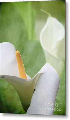 Calla Lilies Metal Print by Alyce Taylor