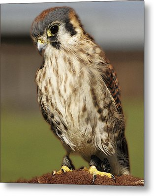 Callie American Kestrel Metal Print by Barbara Middleton