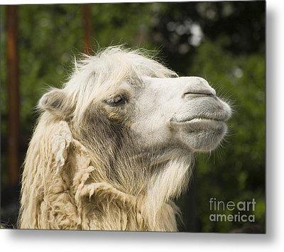 Camel Portrait Metal Print by Odon Czintos