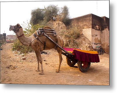Camel Yoked To A Decorated Cart Meant For Carrying Passengers In India Metal Print by Ashish Agarwal