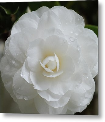 Metal Print featuring the photograph Camellia After Rain Storm by Shane Kelly