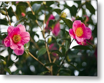 Camellia Flower (camelia Japonica) Metal Print by Dr Keith Wheeler