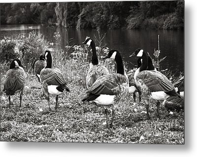 Canada Geese Metal Print by Blink Images