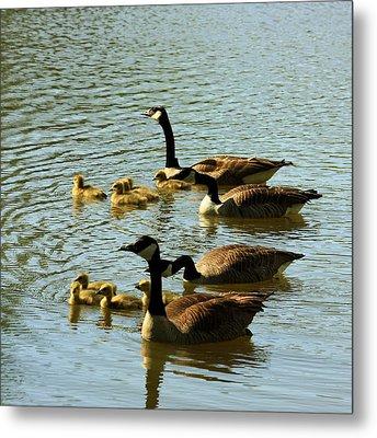 Canada Geese Families Metal Print by Mark Codington