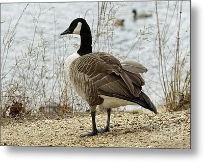Canada Goose Metal Print by Denise Pohl