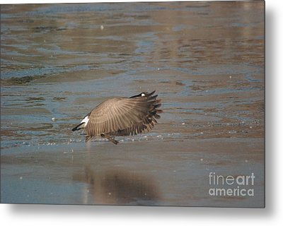 Metal Print featuring the photograph Canada Goose In Flight by Mark McReynolds