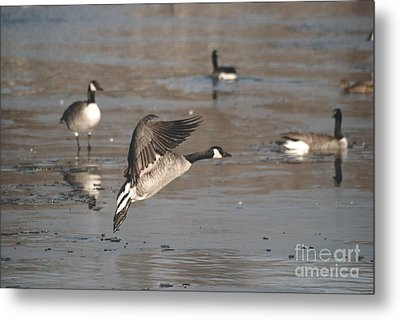 Metal Print featuring the photograph Canada Goose In Mid-flight by Mark McReynolds