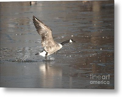 Metal Print featuring the photograph Canada Goose Taking Off by Mark McReynolds