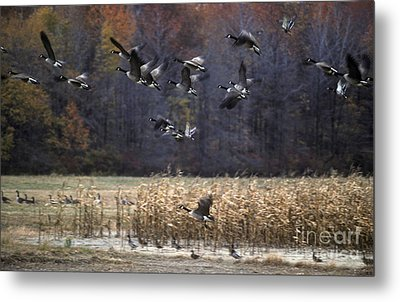 Metal Print featuring the photograph Canadian Geese In Flight by Craig Lovell