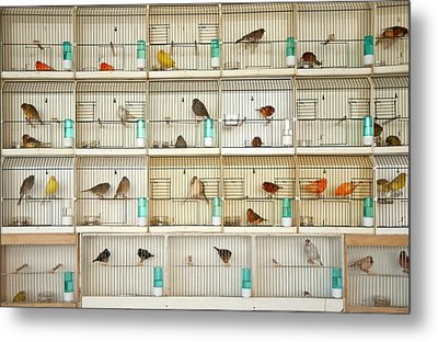 Canary Birds Metal Print by Carlo A