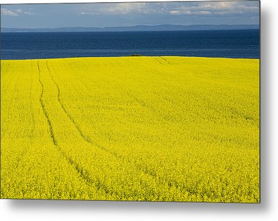 Canola Field, Guernsey Cove, Prince Metal Print by John Sylvester
