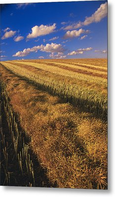 Canola Field, Tiger Hills, Manitoba Metal Print by Dave Reede