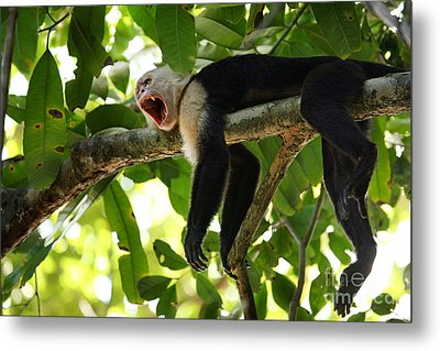 Capuchin Monkey Metal Print by Matt Tilghman