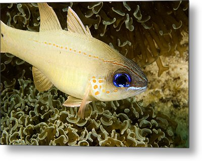 Cardinal Fish Sheltering In Anchor Metal Print by Tim Laman