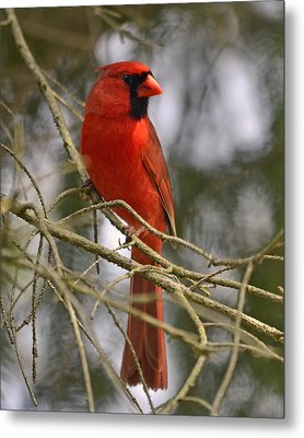 Cardinal In Spruce Metal Print by Ann Bridges