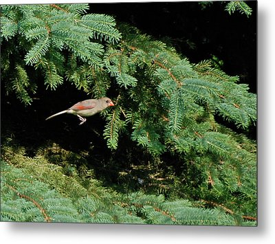 Metal Print featuring the photograph Cardinal Just A Hop Away by Thomas Woolworth