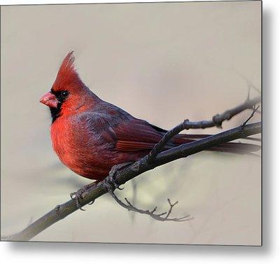 Cardinal On Gray Metal Print by Ann Bridges