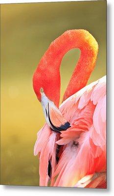 Caribbean Flamingo Phoenicopterus Rube Metal Print by Stuart Westmorland