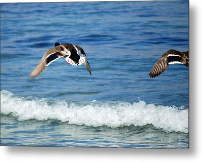 Metal Print featuring the photograph Carmel Bay And Duck In Flight by Harvey Barrison
