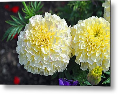 Metal Print featuring the photograph Carnations by Tikvah's Hope