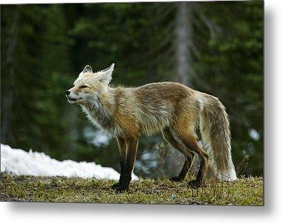 Cascade Red Fox Metal Print by Bob Gibbons