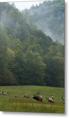 Metal Print featuring the photograph Cataloochee Elk by Carrie Cranwill