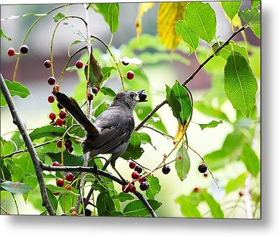 Metal Print featuring the photograph Catbird With Berry - Rear View by Mary McAvoy