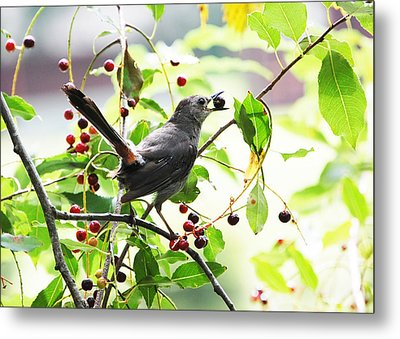 Catbird With Berry II Metal Print by Mary McAvoy