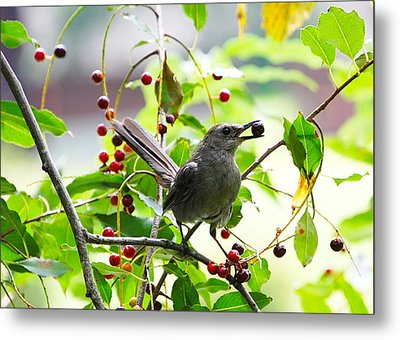 Catbird With Berry IIi Metal Print by Mary McAvoy