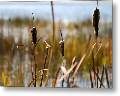 Cattails Metal Print by Brady D Hebert