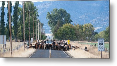 Metal Print featuring the photograph Cattle Drive 2 by Gary Rose
