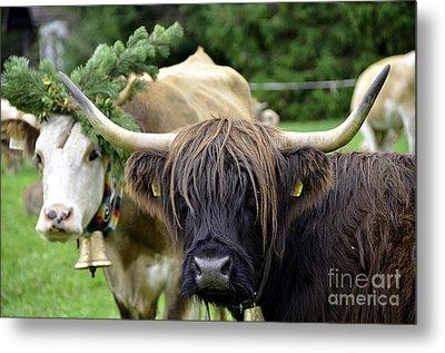 Cattle Drive In Alps Metal Print by Elzbieta Fazel