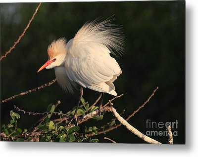 Cattle Egret Display Metal Print