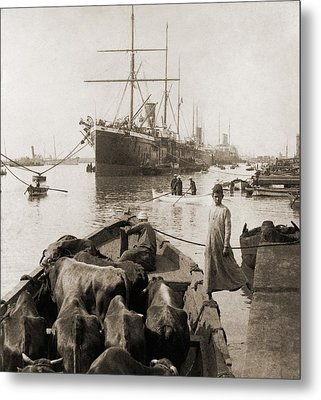 Cattle In A Small Boat Destined Metal Print by Everett